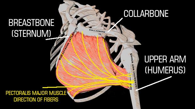 pec-major-fibers